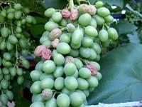 Як боротися з білою та сірою гниллю винограду.Поради
