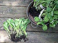 Посадка розсади листової капусти і догляд за нею