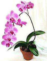 Орхідея Фаленопсис. Догляд,вирощування.