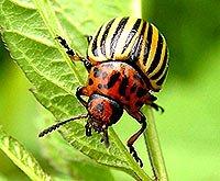 Як боротися з колорадським жуком і гусеницею