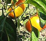 Місячний календар садівника, городника, квітникаря на вересень 2013 року. Посівний календар на вересень 2013 року.
