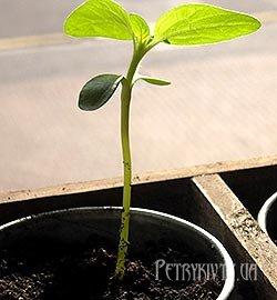 Способи та умови вирощування розсади