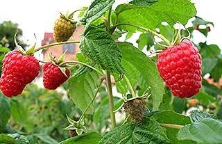 Місячний календар садівника-городника на серпень місяць 2014 року.
