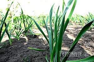 Сумісність рослин і сівозміна. Розміщення грядок на городі.