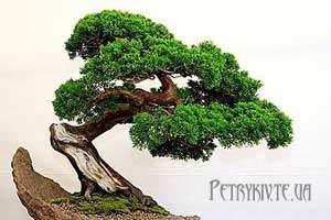 Як виростити бонсай дерево.