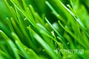 Сіємо газонну траву.