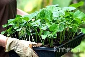 Як висаджувати розсаду у відкритий ґрунт?