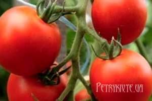 Як вибрати сорт томатів