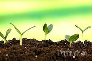 Стимулятори і регулятори росту для передпосівної обробки насіння
