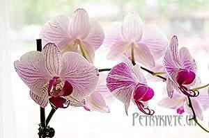 Орхідея. Догляд, вирощування, пересадка