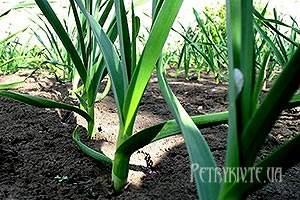 Вирощування цибулі порею догляд і корисні властивості