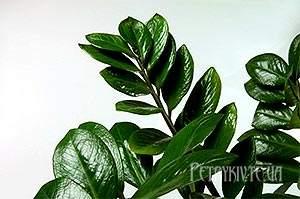 Замиокулькас (лат. Zamiocúlcas) - доларове дерево