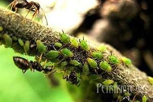 Рецепти рослинних препаратів проти шкідників і хвороб.