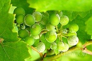 Як боротися з мілдью (мучнистою росою) на винограді