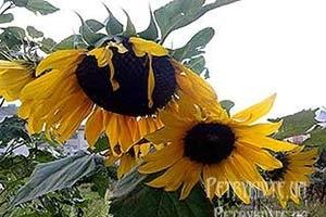 Місячний посівний календар садівника-городника-квітникаря на вересень 2014 року.