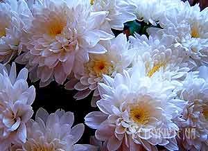 Як виростити шикарні хризантеми