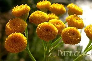 Чергування посівів, сівозміна як захист від хвороб рослин, поради городників