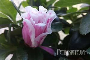Як пересадити кімнатні рослини та квіти